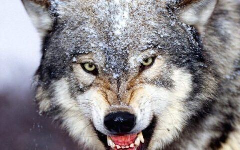 ACR: Wolf, a problem to manage